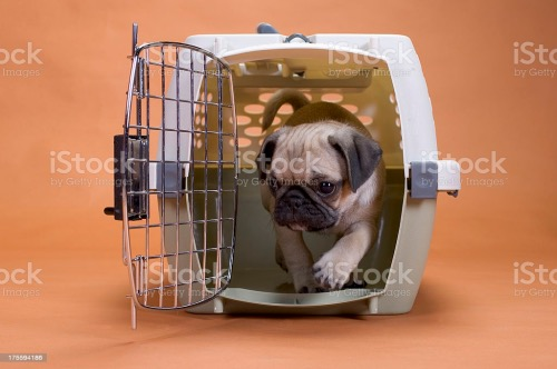 pug dog in a travel crate stock photo Fotor